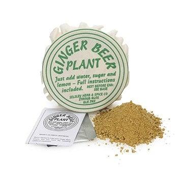 Ginger Beer Plant