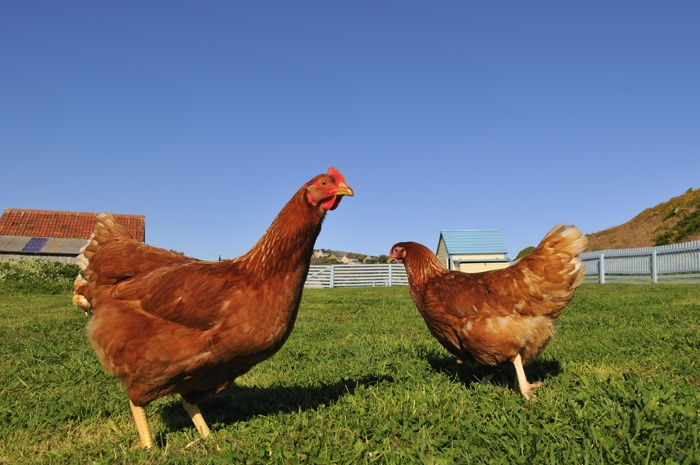 Chickens on Bryher Island