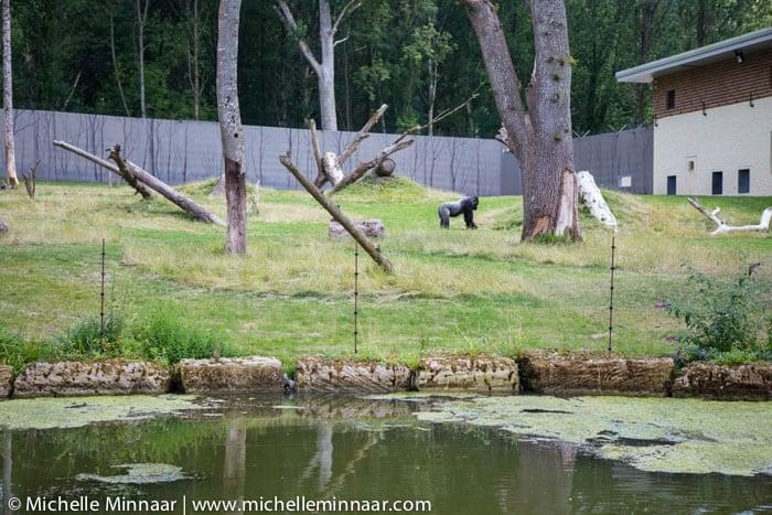 Gorillas at Longleat