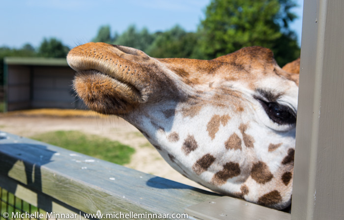 Hairy Mouthed Giraffe