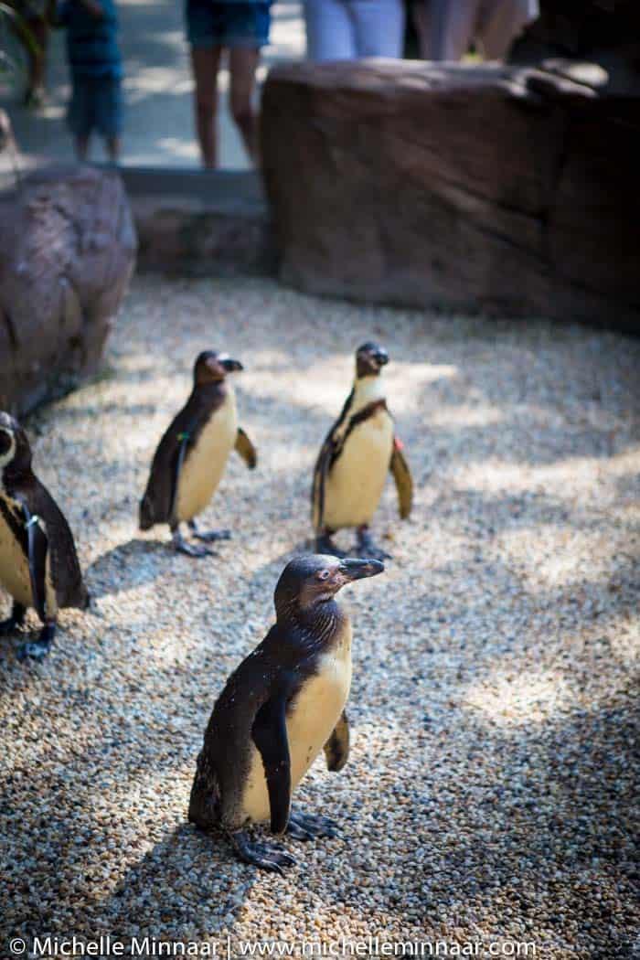 Tanning Penguins