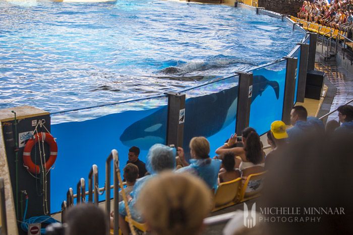 Swimming Orca
