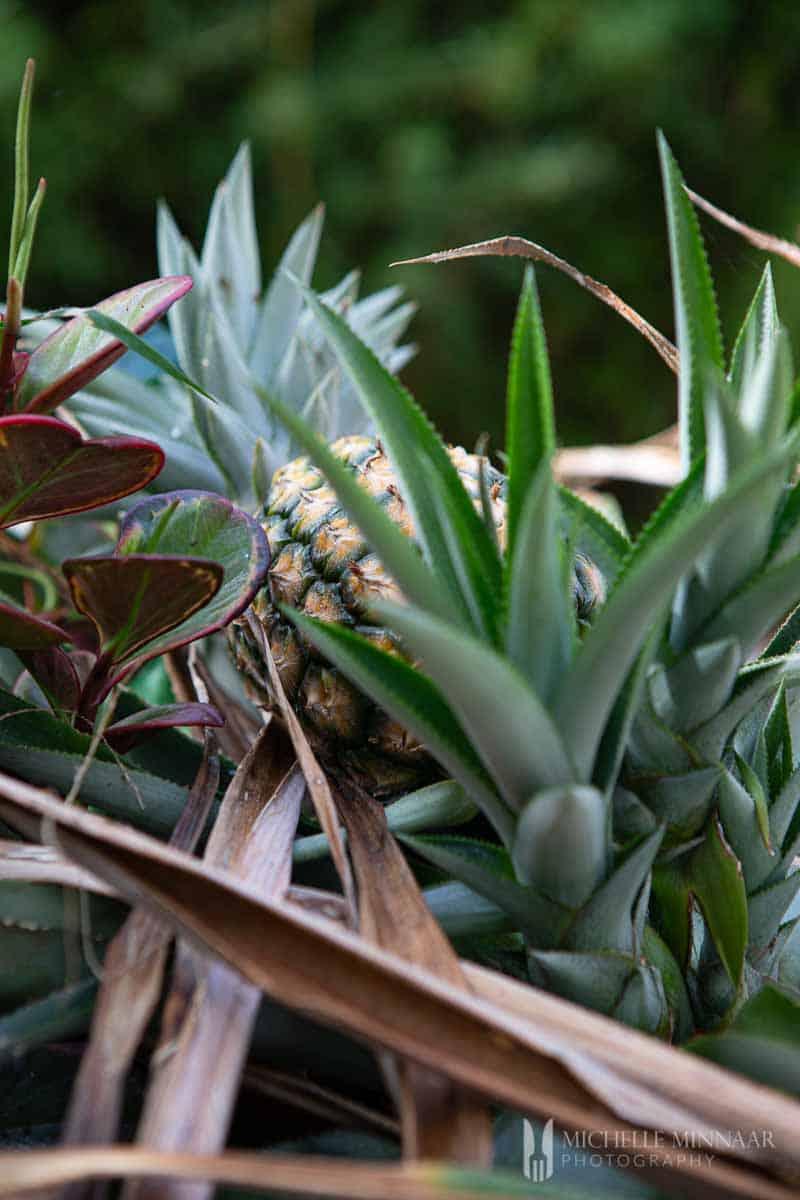 Pineapple in a bush