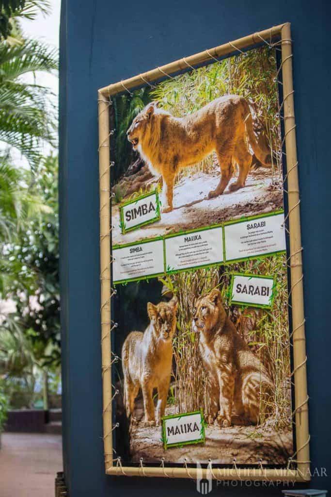 Lions at Loro Parque