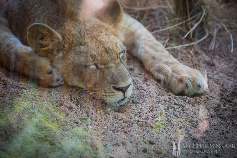 Lionness napping in afternoon