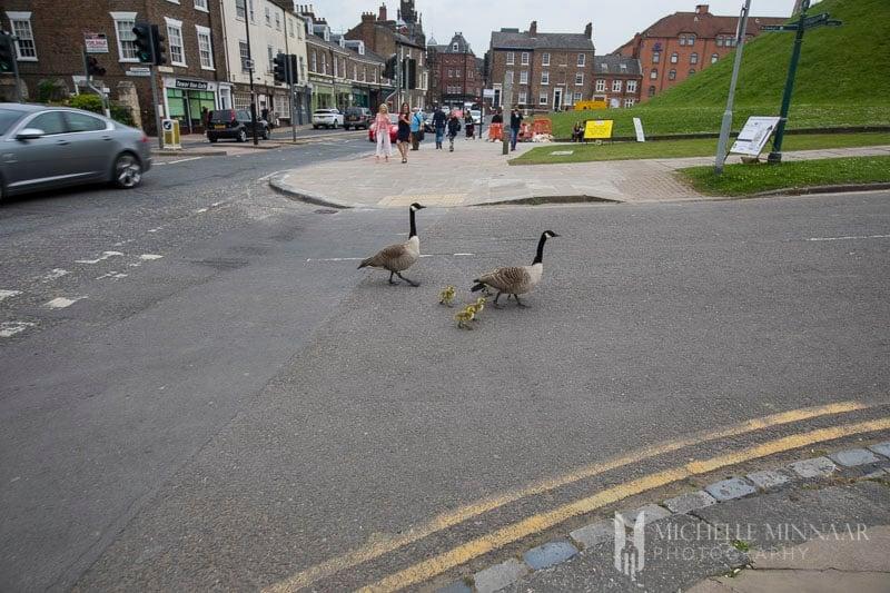 Ducks crossing a street in York