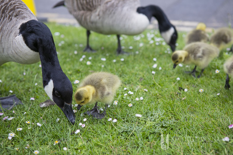 Geese eating grass in york