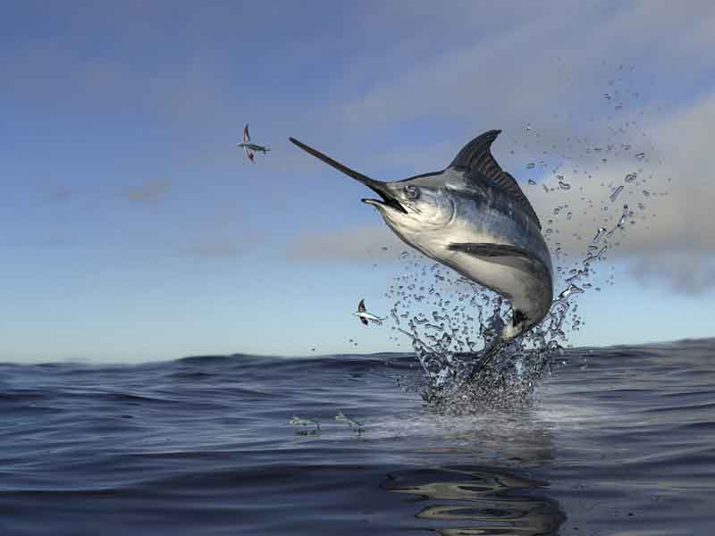 Swordfish jumping out of the water
