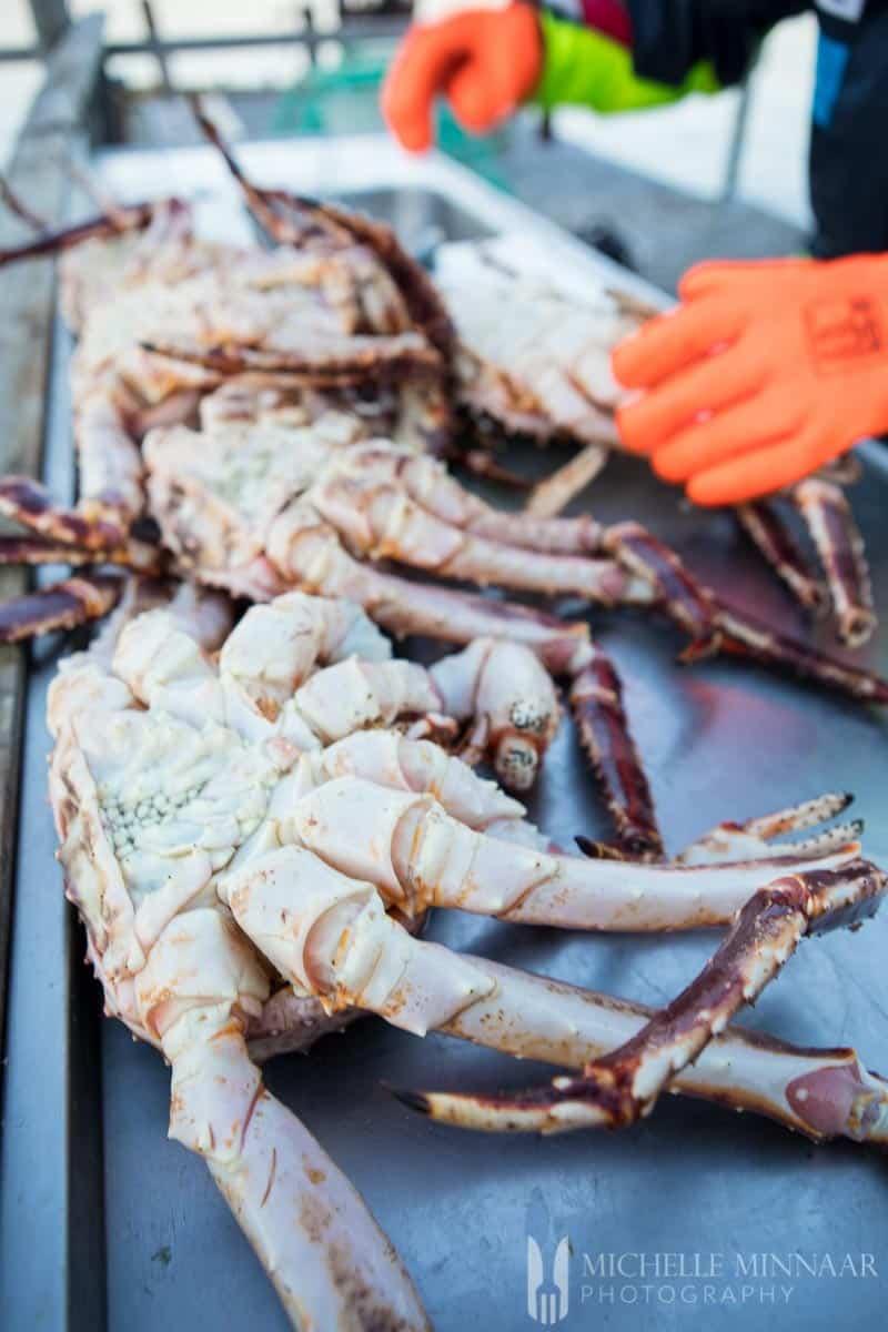 A man wearing orange gloves handling live King crab