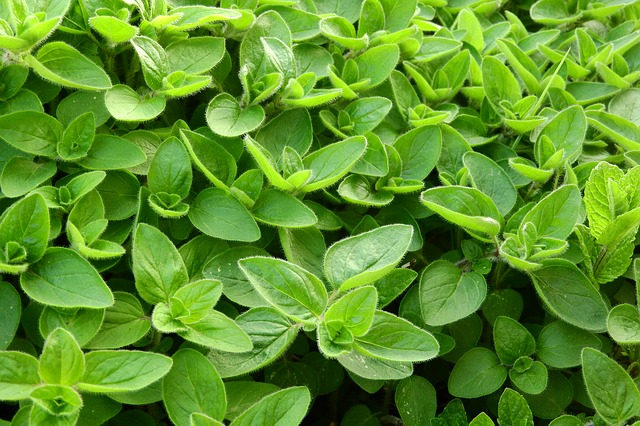 Green leaves of Marjoram