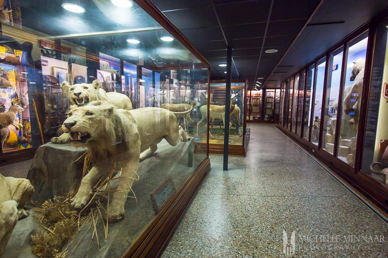 Lions in a glass cage