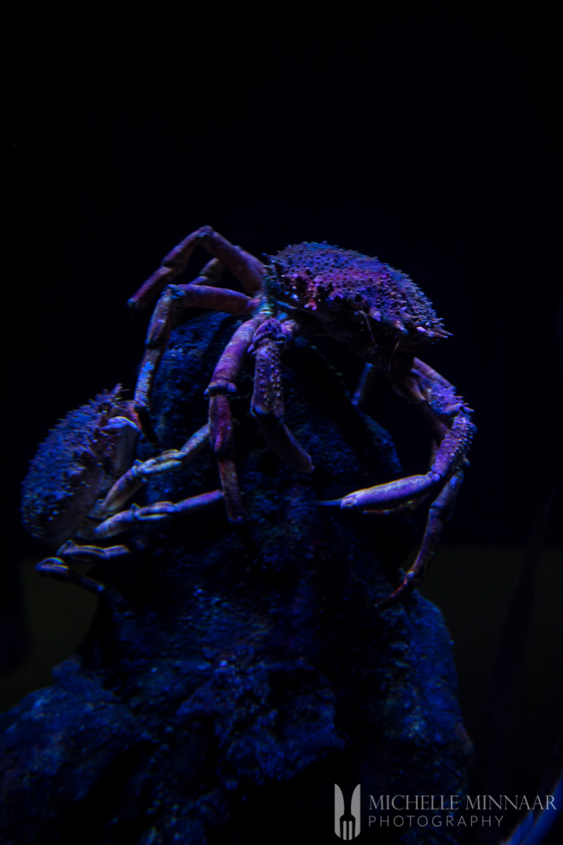 A purple crab