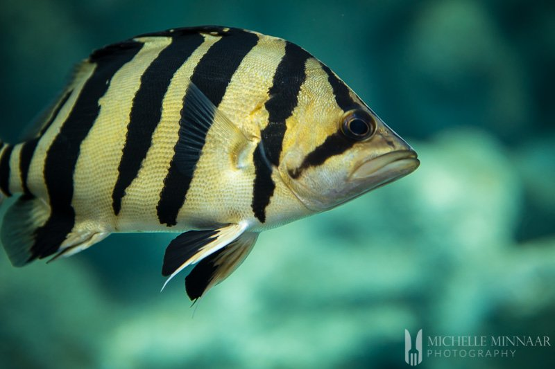 A black and white fish