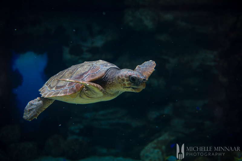 A sea turtle in water