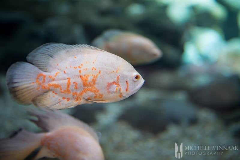 An orange fish in water