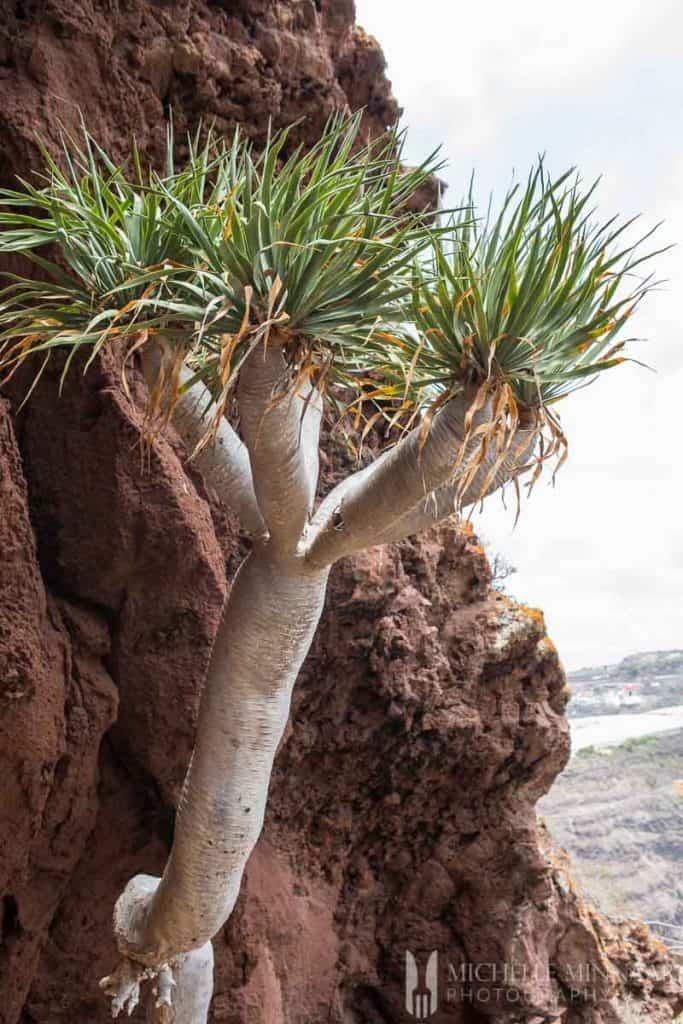 Tree Canarian