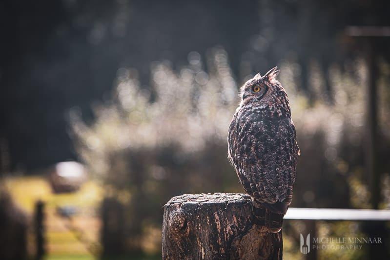 Owl on a tree stump