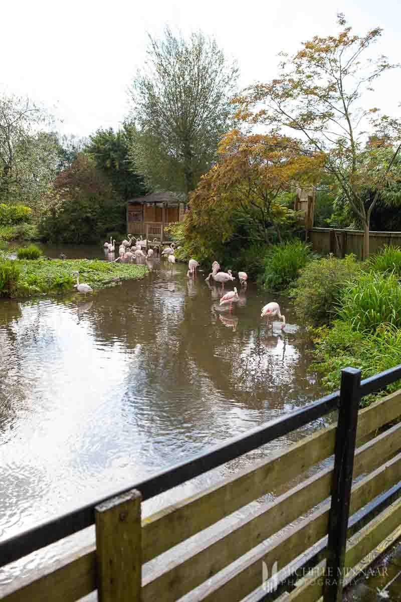 Flamingos at the Birdland Park and Gardens