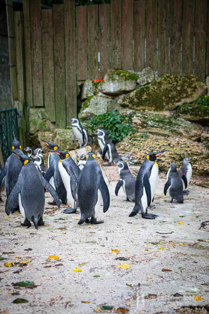 Penguins at the Birdland Park and Gardens