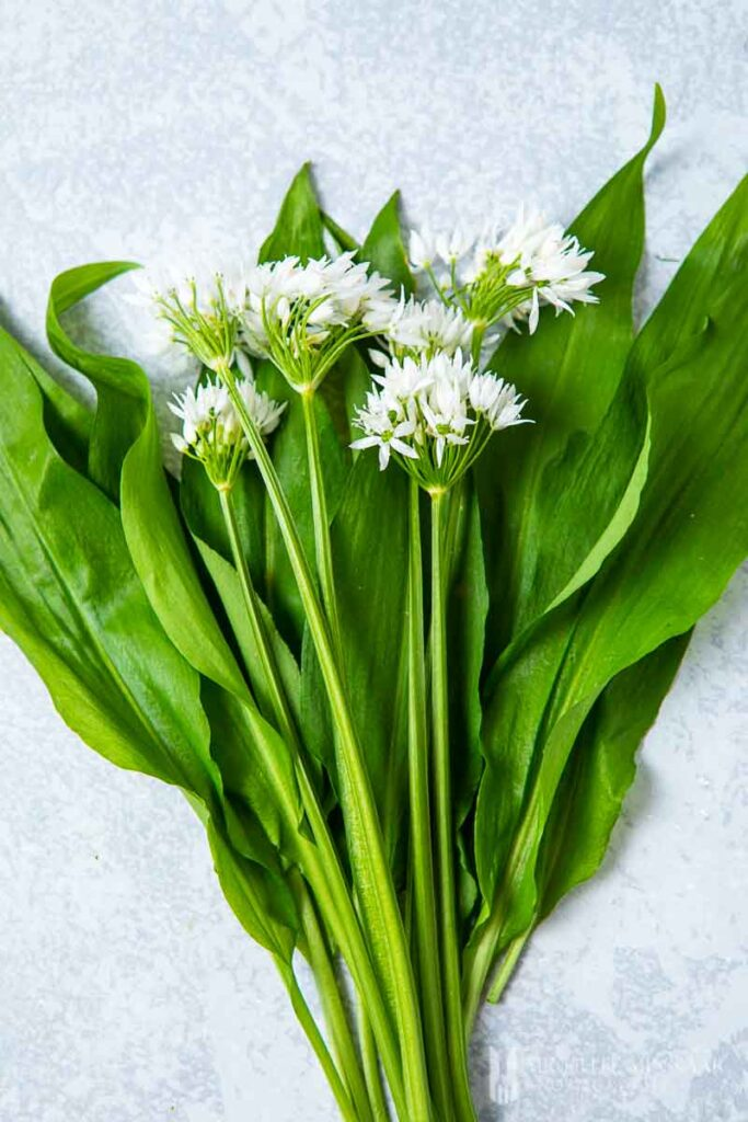 Fresh bunch f wild garlic